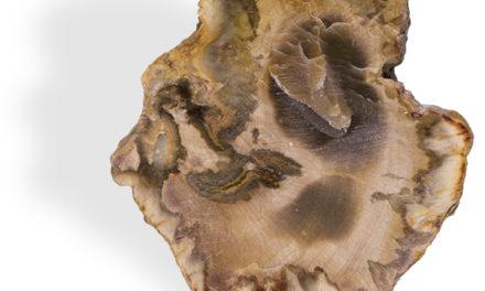 Le Bois fossile, pour la croissance